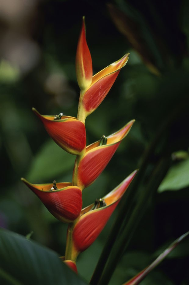 Close-up of a heliconia flower (Foto: Getty Images/Purestock)