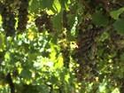 Colheita da uva movimenta vinícolas e atrai milhares de turistas ao RS