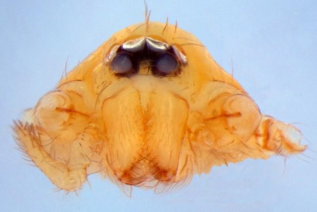 Um exemplar da espécie 'Predatoroonops schwarzeneggeri' fêmea (Foto: Instituto Butantan)