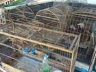 PMA multa em R$ 9 mil assentado de MS por criar 17 aves silvestres