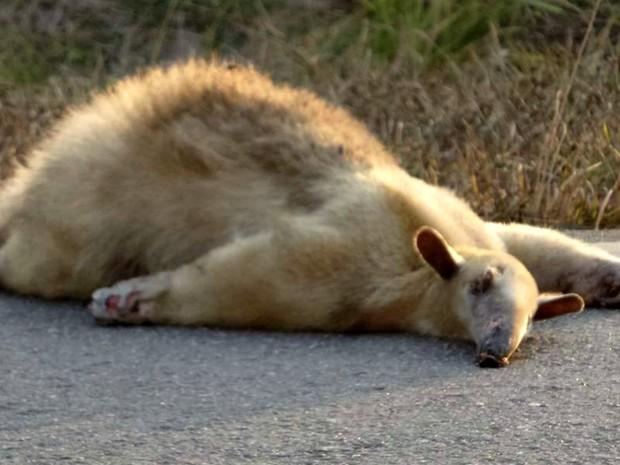 Animal foi atropelado em rodovia do Acre  (Foto: Alexandre Anselmo/ Arquivo pessoal )