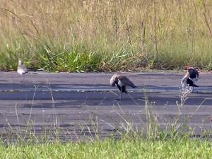 Mato alto e aves na pista também atrapalham pilotos (Foto: Reprodução/EPTV)