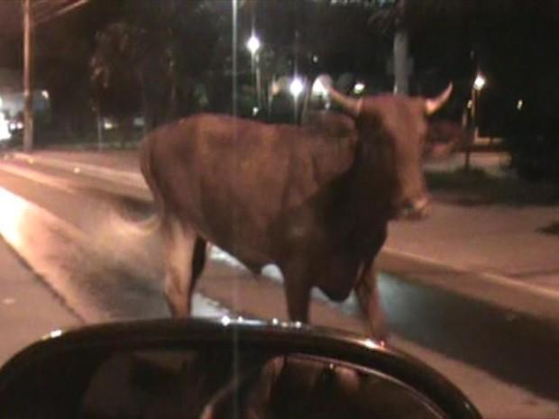 Animal foi solto na Rua Deputado Edu Vieira (Foto: PM/Divulgação)