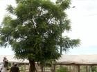 Árvore de origem asiática pode ser usada como repelente natural