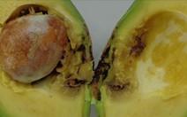 Resolva problema com broca do fruto do abacateiro