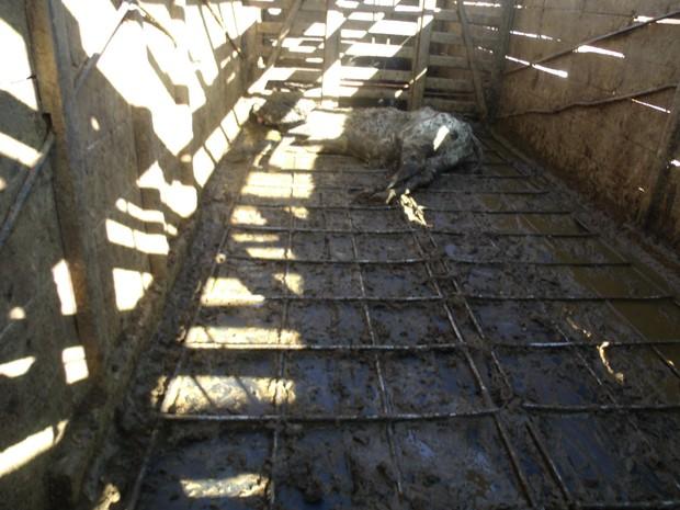 Caminhão onde vacas foram apreendidas em  Papagaios (Foto: Polícia Militar/Divulgação)