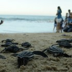 Tartarugas em risco nascem em praia (Carlos Alberto Silva/ A Gazeta)