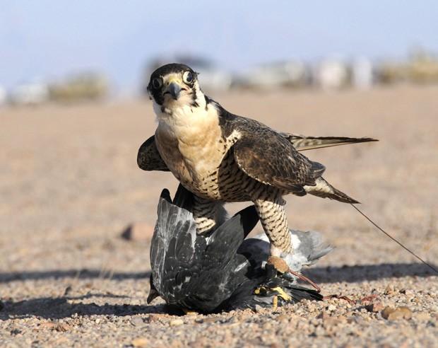 Falcão é flagrado segurando sua presa durante competição na Arábia Saudita (Foto: Mohamed Al Hwaity/Reuters)