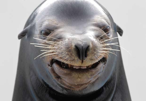 m outubro de 2010, um leão-marinho foi flagrado 'sorrindo' durante um show em um parque aquático em Kamogawa, no Japão (Foto: Itsuo Inouye/AP)