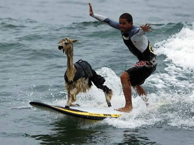 O surfista peruano Domingo Pianezzi ensinou sua alpaca de estimação chamada 'Pisco' a surfar na praia de San Bartolo, em Lima, no Peru (Foto: Pilar Olivares/Reuters)