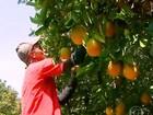 TRT mantém decisão que acaba com a terceirização na colheita de laranja