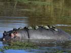 Veja tartarugas pegando 'carona' em hipopótamo e outros flagras incríveis