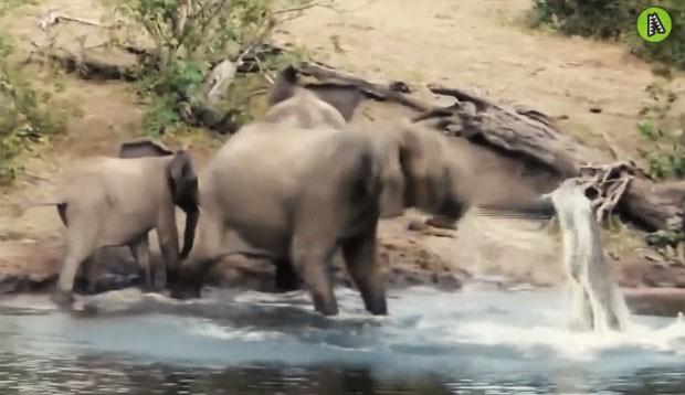 Elefante pisoteou crocodilo de mais de 3 metros até conseguir se desvencilhar do ataque (Foto: Reprodução/YouTube/ MaxAnimal)