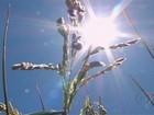 Produção de arroz irrigado ajuda a incrementar a renda no CE