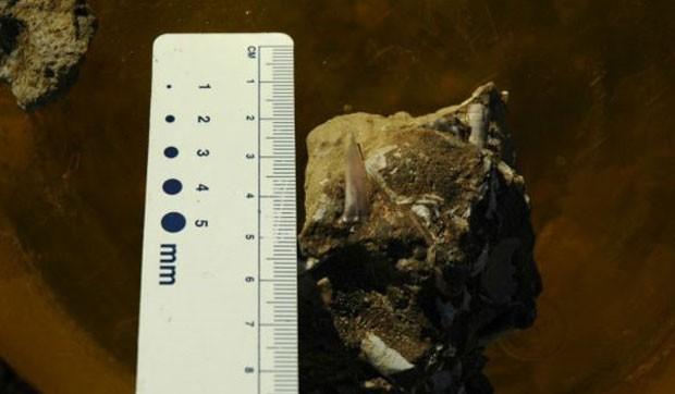 Fóssil de plesiossauro encontrato pelos cientistas em 2007. (Foto: Alexandre Kellner/BBC)
