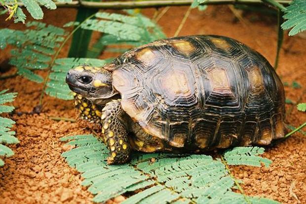 Essa espécie de jabuti vive preferencialmente em florestas densas e úmidas (Foto: Aguinaldo Matos / TG)
