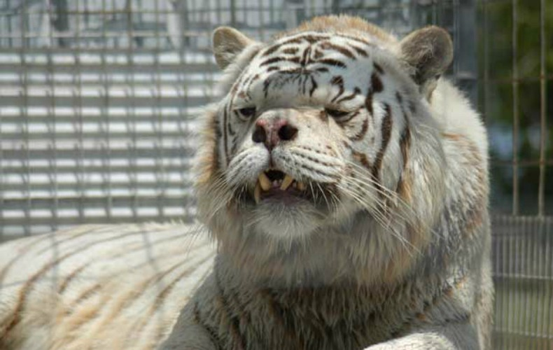 tigre_down04_planeta_bicho (Foto: Divulgação/Turpentine Creek Wildlife Refuge)