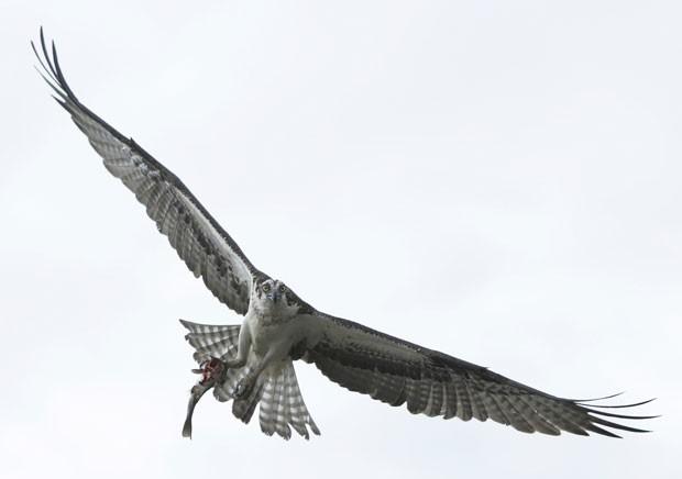 Fotógrafo Gary Cameron flagrou momento em que águia trazia peixe e levava até o ninho (Foto: Gary Cameron/Reuters)