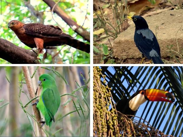 Gavião-bombachinha, Sabiá-una, Tuim, Tucano (Foto: Tainá Furtado/VC noTG)