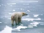 Urso polar pode nadar grande distância para sobreviver, diz estudo
