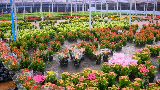 Mesmo com crise, mercado de flores cresce 6% em 2016 em Holambra, SP