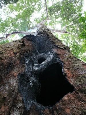 Funcionários da reserva florestal suspeitam que árvore foi queimada durante ritual de magia negra (Foto: Adneison Severiano/G1 AM)