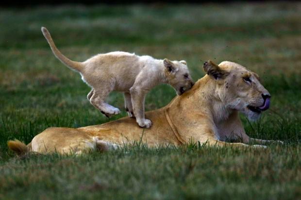 Um filhote de leão foi fotografado se divertindo nas costas de sua mãe em um parque perto de Joanesburgo, na África do Sul (Foto: Jerome Delay/AP)
