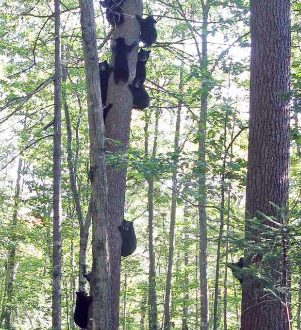 Grupo de 12 ursos brincam e escalam árvores em floresta que serve de abrigo nos EUA (Foto: AP)