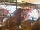 Calor faz produção de ovos diminuir e preços sobem para o consumidor