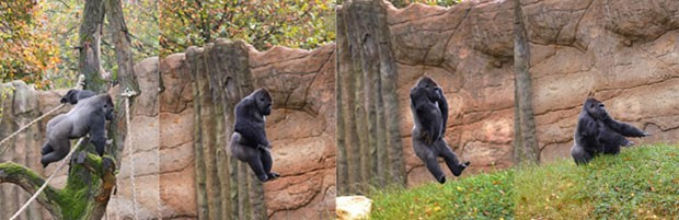 """Sequência de imagens mostra momento da """"aterrisagem"""" de gorila em zoológico da Alemanha (Foto: Divulgação/Magnus Neuhaus/Zoo Krefeld)"""