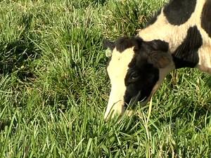 Cada vaca produzia 8 litros de leite por dia. Atualmente, a produção é de 18 litros (Foto: Reprodução/TV TEM)