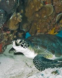 Aumento da temperatura causa boom de tartarugas fêmeas