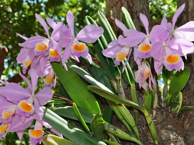 Há 15 anos Jorge Macêdo registra de perto as orquídeas e uma delas é a Cattleya eldorado (Foto: Jorge Macêdo)