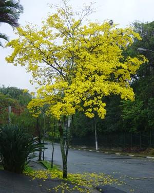 ipe-amarelo (Foto: Divulgação)