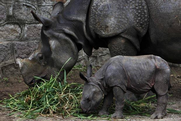 Filhote de rinoceronte (Foto: AP)