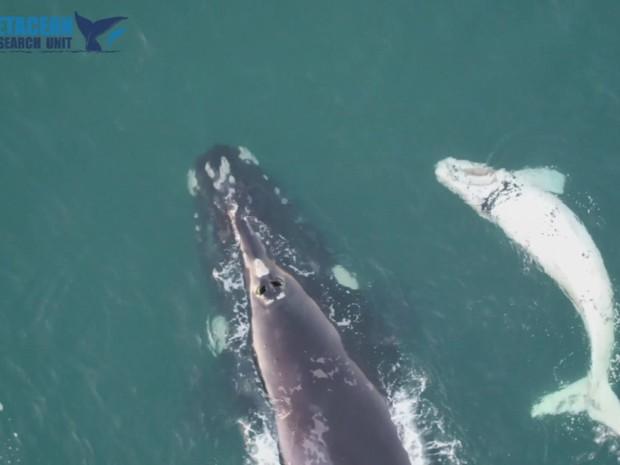 Animal foi avistado com a ajuda de um drone (Foto: BBC)