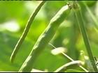 Áreas irrigadas garantem produção do feijão de corda em Iguatu, CE