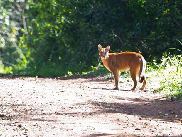 Onça parda foi flagada no Parque Estadual do Turvo, no Noroeste do Rio Grande do Sul  (Foto: Dante Andres Meller/Arquivo Pessoal)