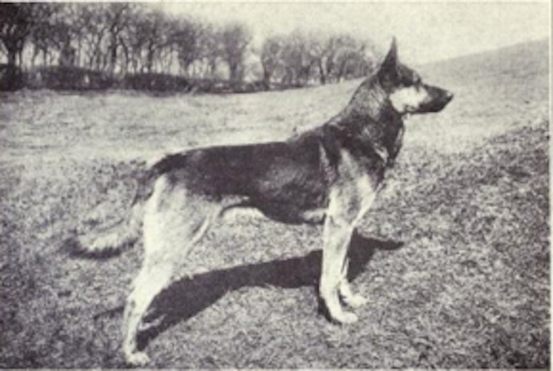 pastor alemão (Foto: Dogs of All Nation)