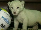 Leões albinos nascem em zoo da Ucrânia