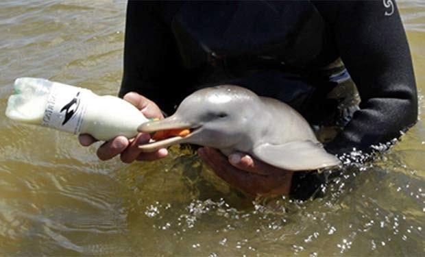Filhote da espécie Pontoporia blainvillei. (Foto: Reuters)