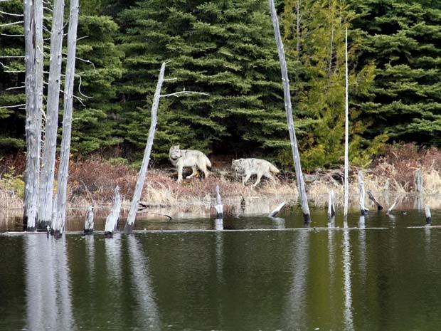 Em foto de arquivo de fevereiro de 2012 dois lobos cinzas caminham no Parque Nacional Ilha Royale (Foto: AP Photo/George Desort. File)