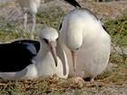 Albatroz de 64 anos seria a ave marinha mais velha do mundo