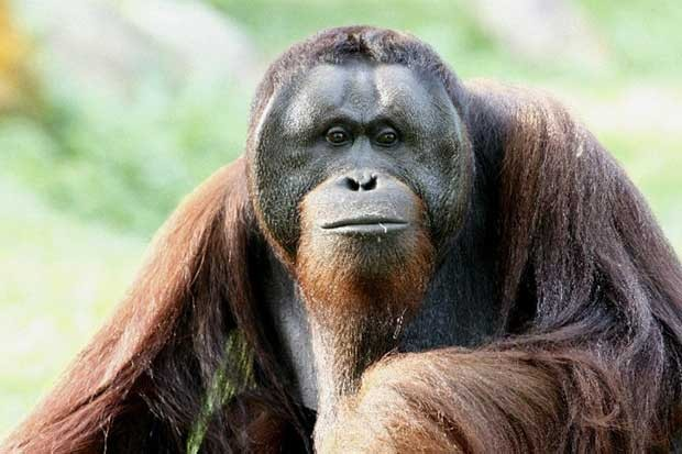 O orangotango da Sumatra, espécies de primata ameaçada de extinção (Foto:  Wildlife Reserves Singapore/AFP)