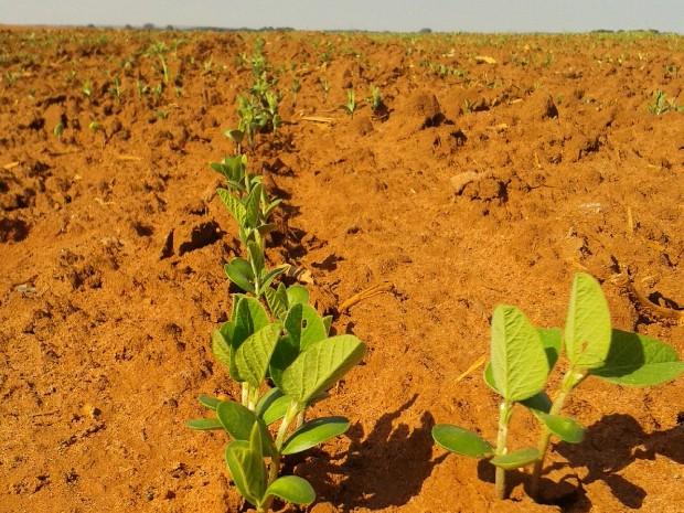 Plantio de soja já foi iniciado em MS e Conab projeta redução da produção da oleaginosa (Foto: Flávia Galdiole/TV Morena)