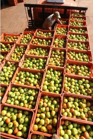 Maior produtor de tomate do país, Goiás não escapa de alta recorde (Foto: Ricardo Rafael/O Popular)