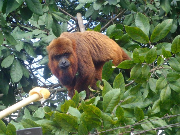 Macaco que fugiu do zoológico dá trabalho para ser capturado em Varginha. (Foto: Fátima Beneton)