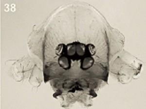 Imagem mostra quelíceras de espécie de aranha descoberta (Foto: American Museum of Natural History/Divulgação)