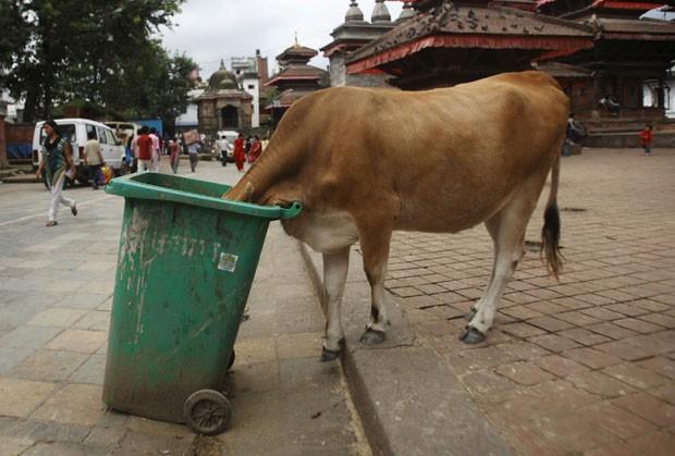 Uma vaca foi flagrada nesta quarta-feira (12) com a cabeça dentro de uma lixeira na praça Bashantapur Durbar em Katmandu, no Nepal. (Foto: Navesh Chitrakar/Reuters)