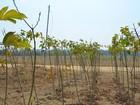 Pesquisa avalia reflexos do plantio de soja na agricultura familiar no PA